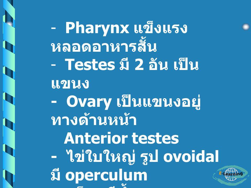 Pharynx แข็งแรง หลอดอาหารสั้น