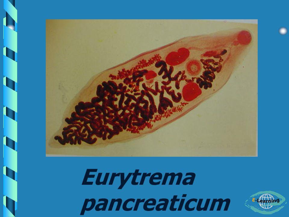 Eurytrema pancreaticum