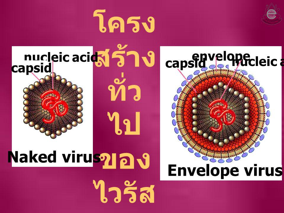 โครง สร้าง ทั่ว ไป ของ ไวรัส