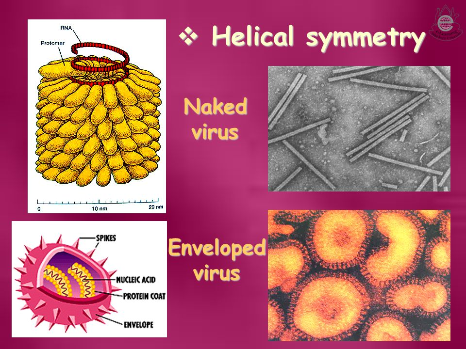 Helical symmetry Naked virus Enveloped virus