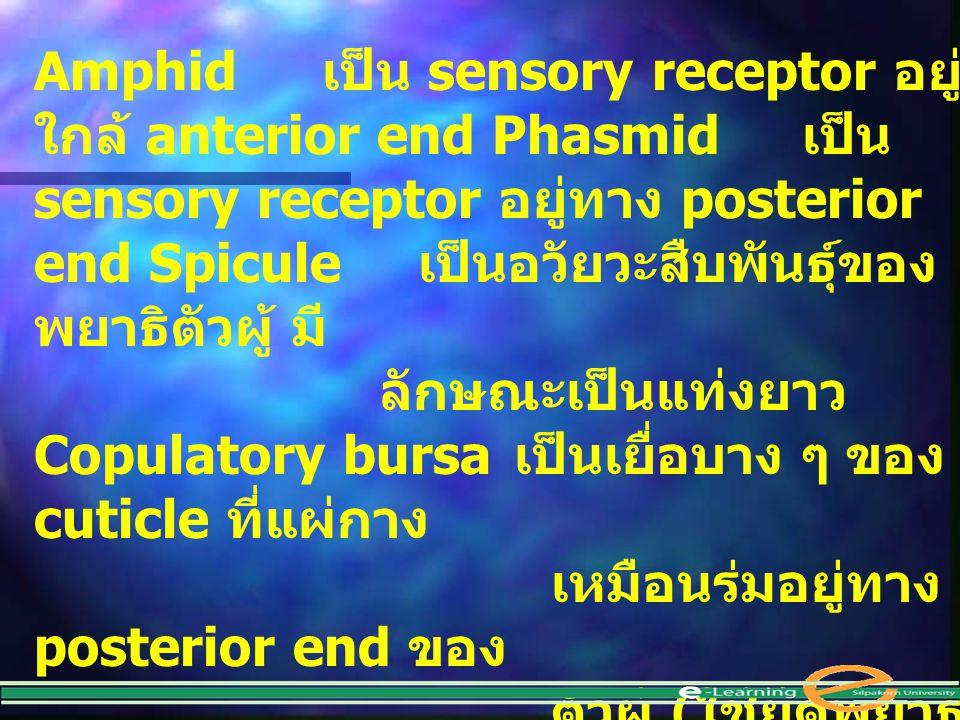Amphid. เป็น sensory receptor อยู่ใกล้ anterior end Phasmid