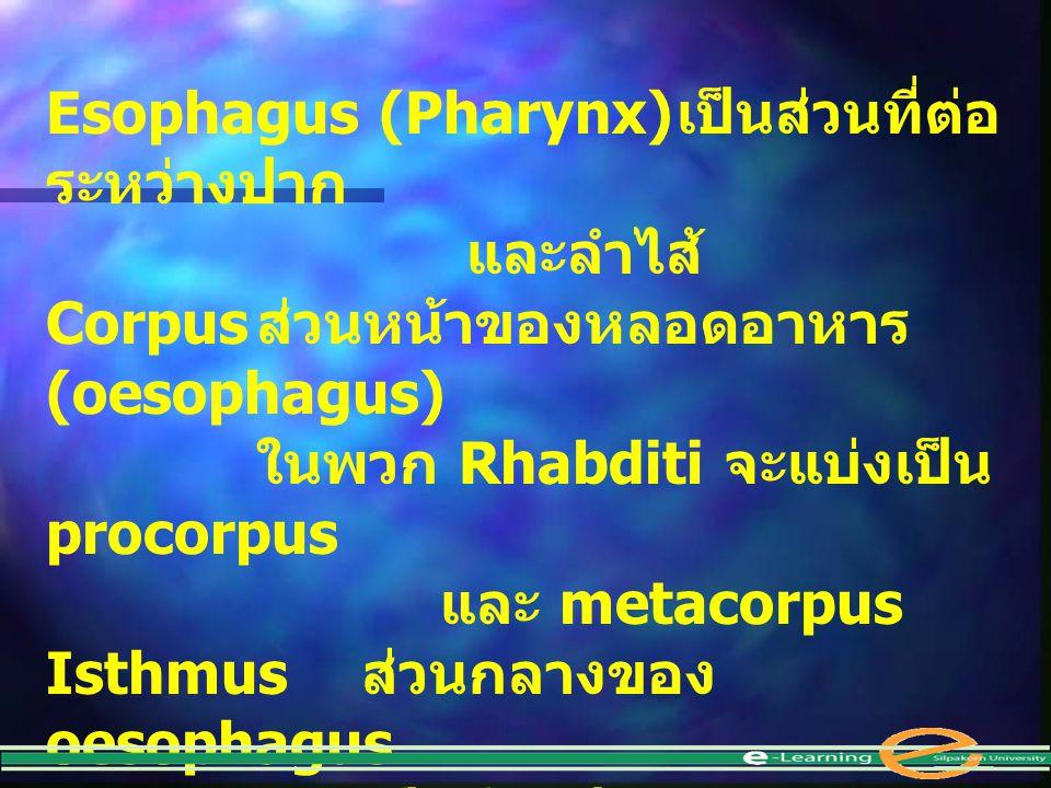 Esophagus (Pharynx) เป็นส่วนที่ต่อระหว่างปาก