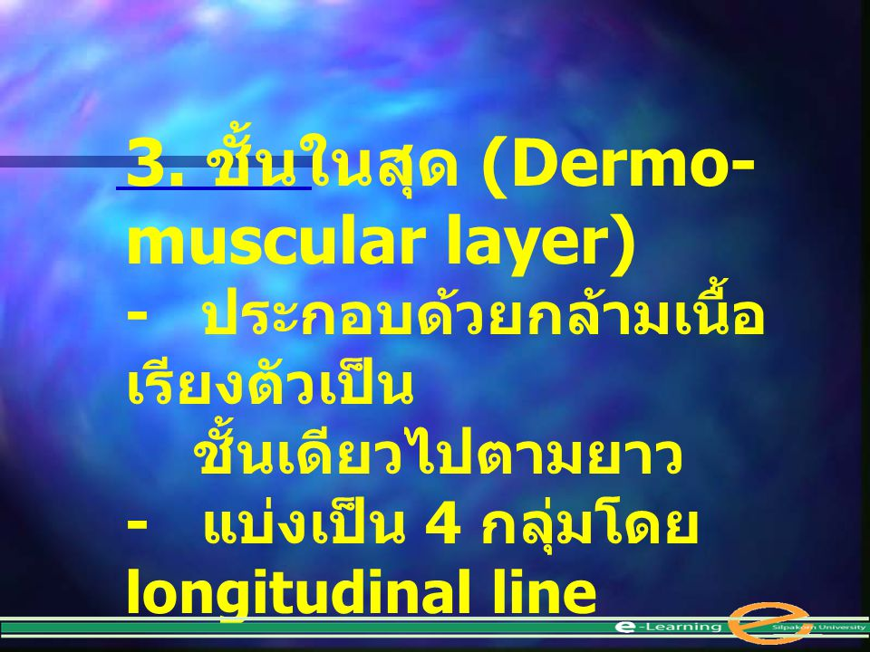 3. ชั้นในสุด (Dermo-muscular layer)