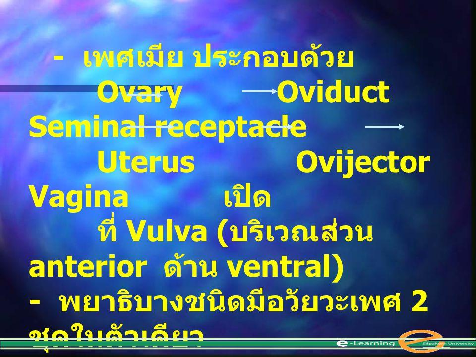 - เพศเมีย ประกอบด้วย Ovary Oviduct Seminal receptacle. Uterus Ovijector Vagina เปิด.