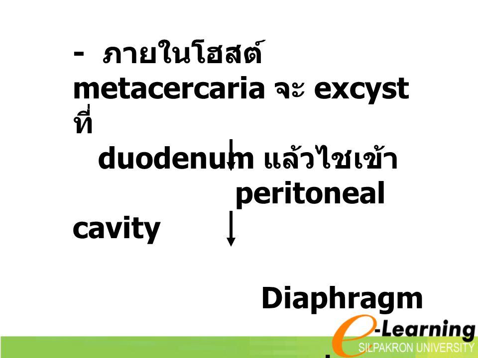 - ภายในโฮสต์ metacercaria จะ excyst ที่