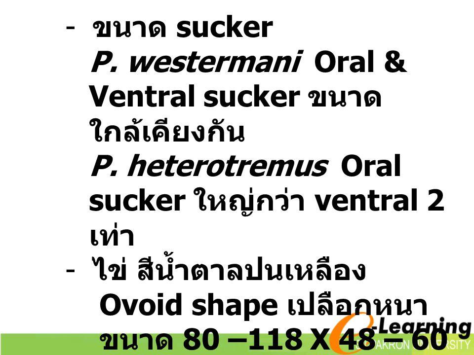 ขนาด sucker P. westermani Oral & Ventral sucker ขนาดใกล้เคียงกัน. P. heterotremus Oral sucker ใหญ่กว่า ventral 2 เท่า.