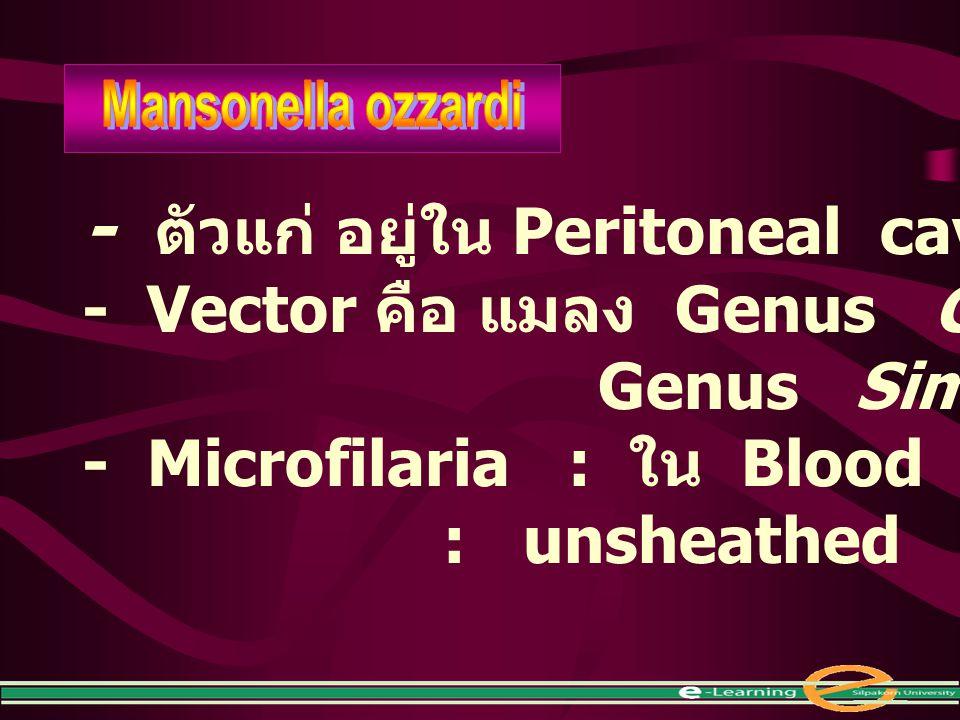 - ตัวแก่ อยู่ใน Peritoneal cavity