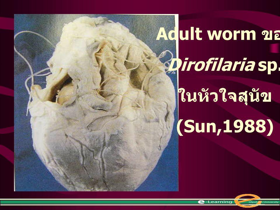 Adult worm ของ Dirofilaria sp. ในหัวใจสุนัข (Sun,1988)