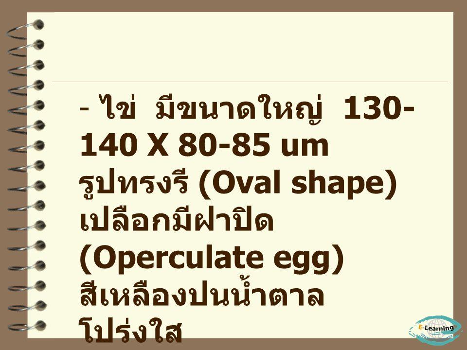 ไข่ มีขนาดใหญ่ 130-140 X 80-85 um รูปทรงรี (Oval shape)