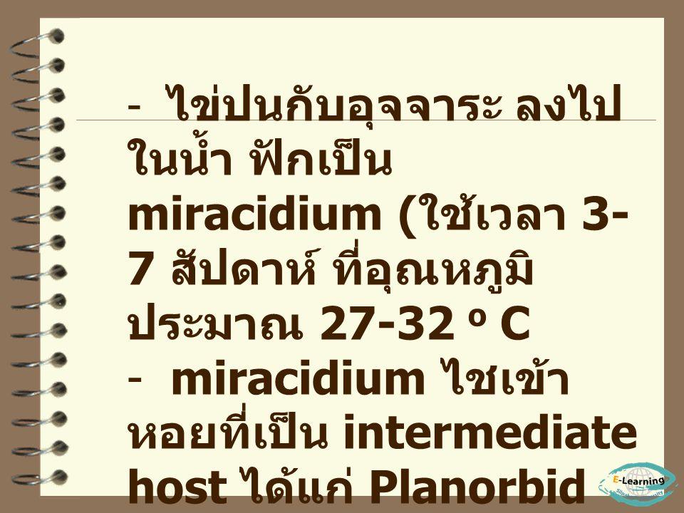 miracidium ไชเข้าหอยที่เป็น intermediate host ได้แก่ Planorbid snail