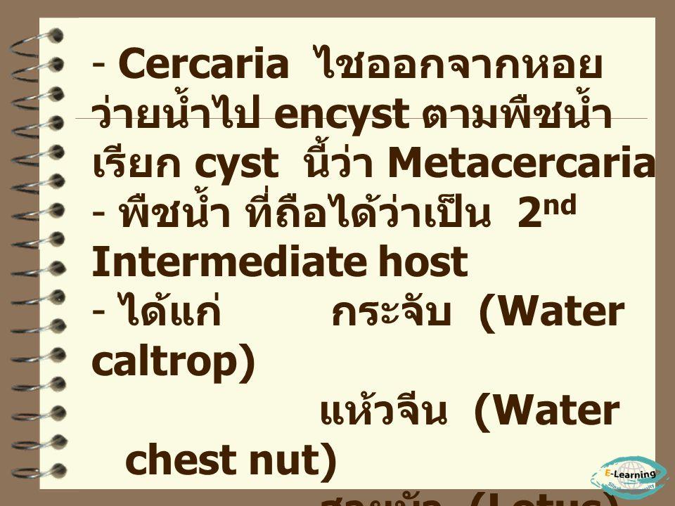 Cercaria ไชออกจากหอย ว่ายน้ำไป encyst ตามพืชน้ำ เรียก cyst นี้ว่า Metacercaria