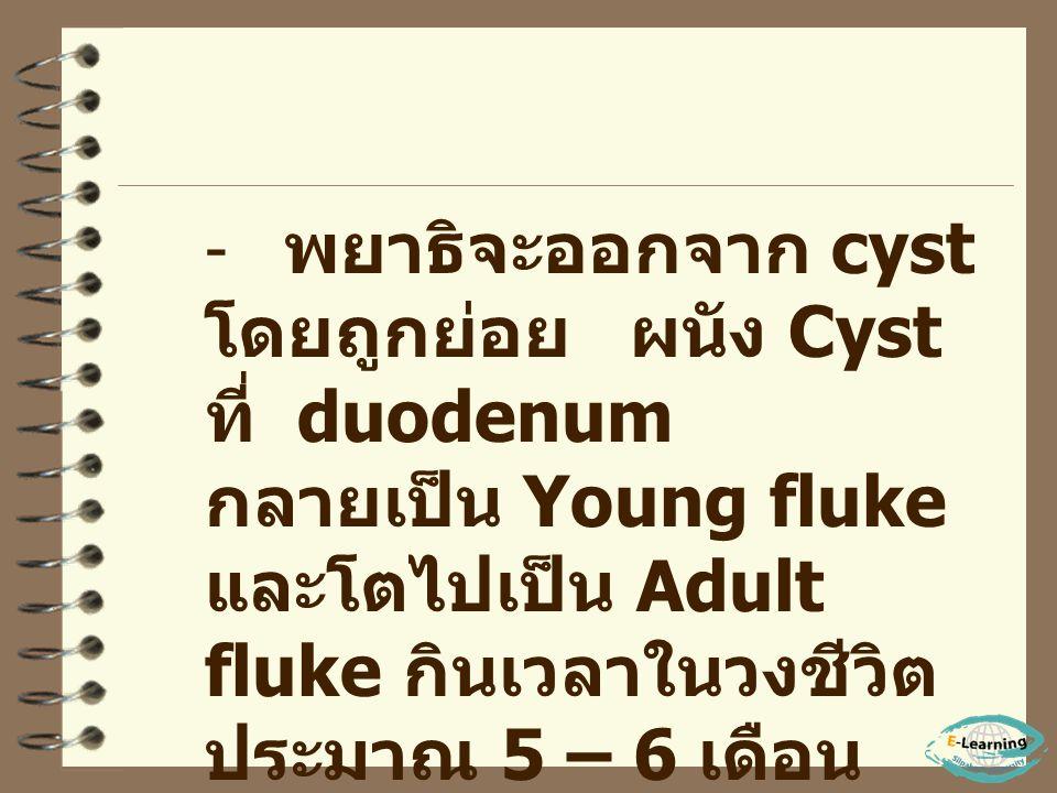พยาธิจะออกจาก cyst โดยถูกย่อย ผนัง Cyst ที่ duodenum กลายเป็น Young fluke และโตไปเป็น Adult fluke กินเวลาในวงชีวิต ประมาณ 5 – 6 เดือน