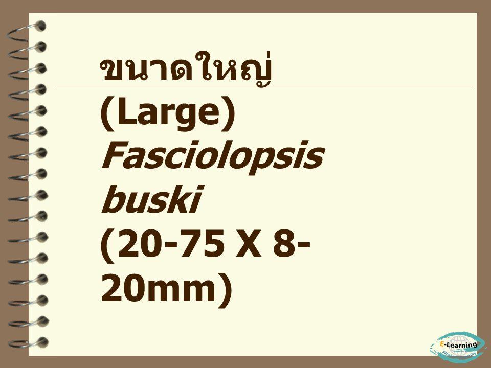 ขนาดใหญ่ (Large) Fasciolopsis buski (20-75 X 8-20mm)