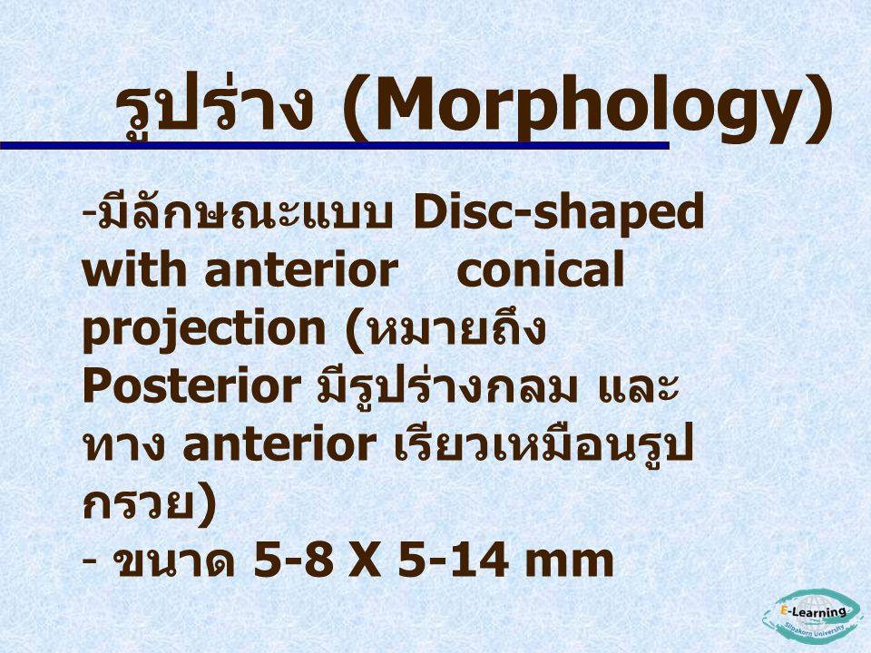 รูปร่าง (Morphology)