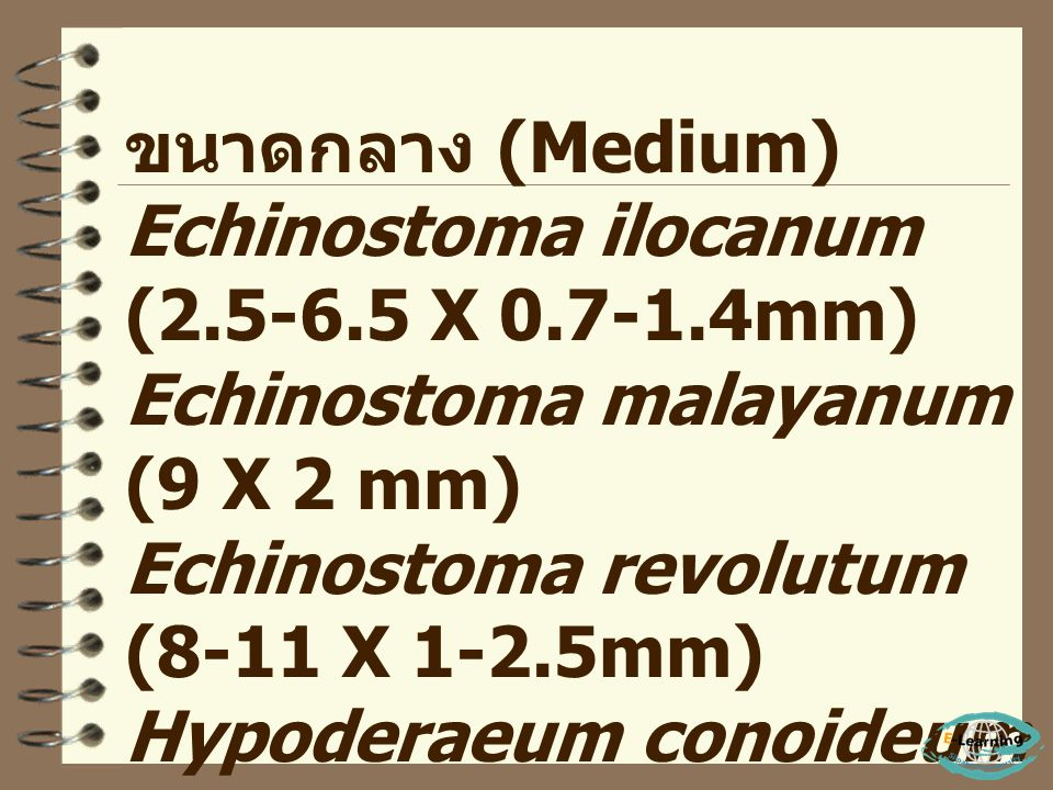 ขนาดกลาง (Medium) Echinostoma ilocanum (2.5-6.5 X 0.7-1.4mm) Echinostoma malayanum (9 X 2 mm) Echinostoma revolutum (8-11 X 1-2.5mm)
