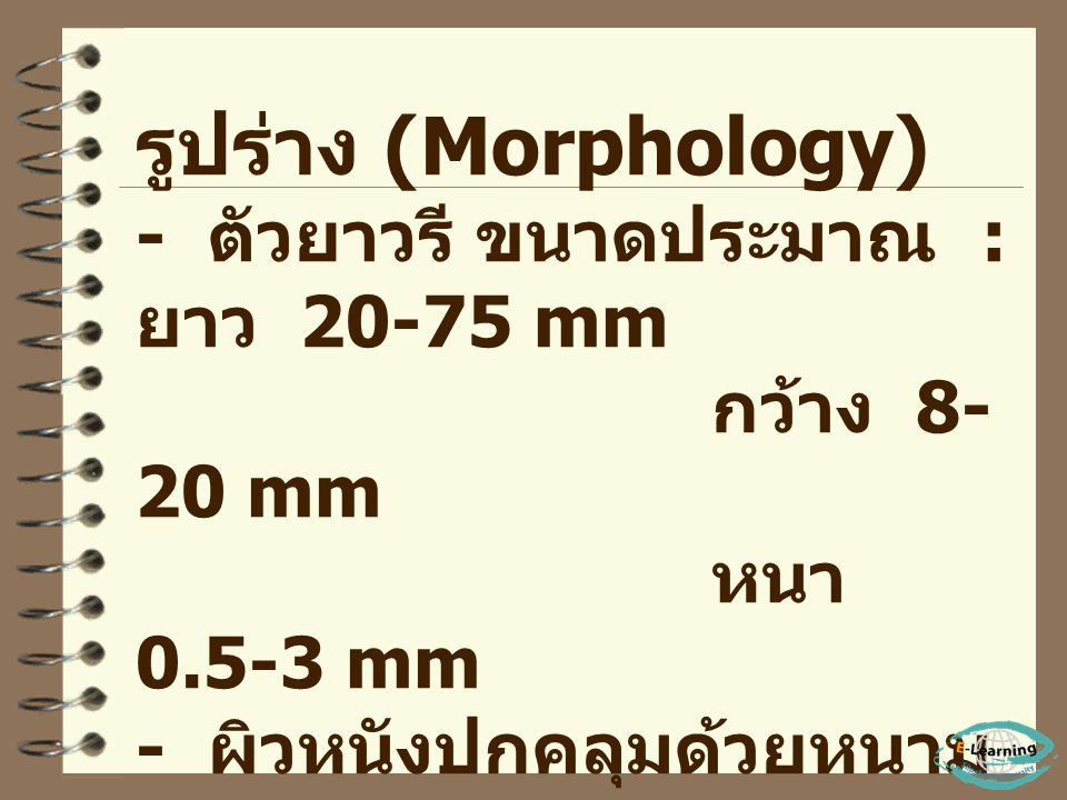 รูปร่าง (Morphology) - ตัวยาวรี ขนาดประมาณ : ยาว 20-75 mm