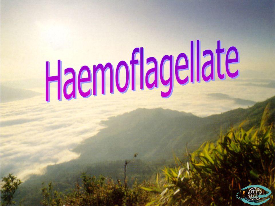 Haemoflagellate