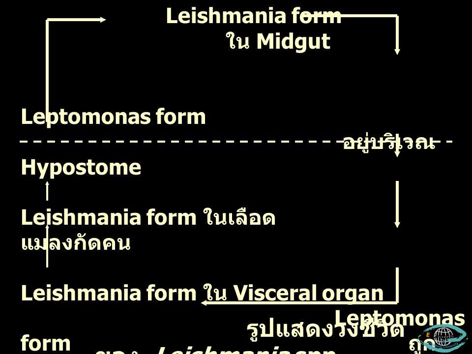 รูปแสดงวงชีวิตของ Leishmania spp.