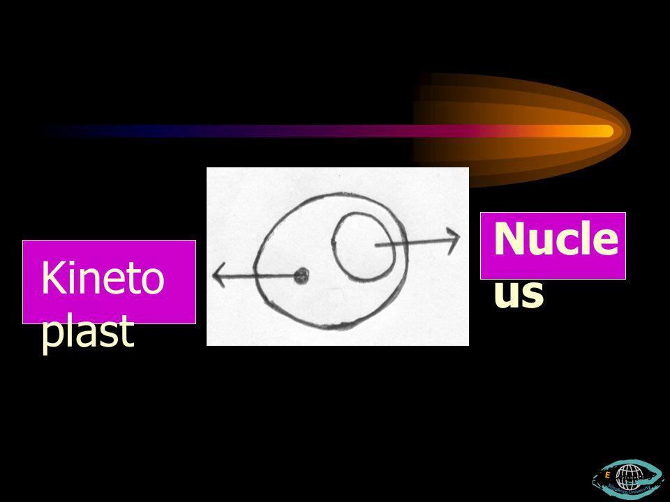 Nucleus Kinetoplast