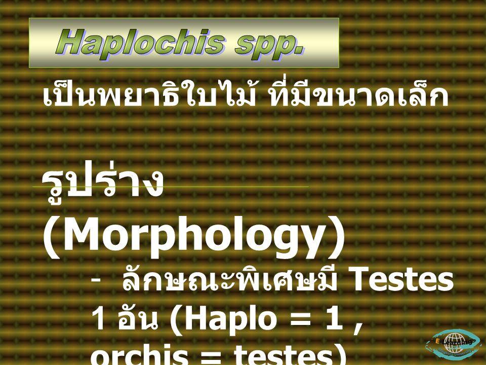 รูปร่าง (Morphology) เป็นพยาธิใบไม้ ที่มีขนาดเล็ก