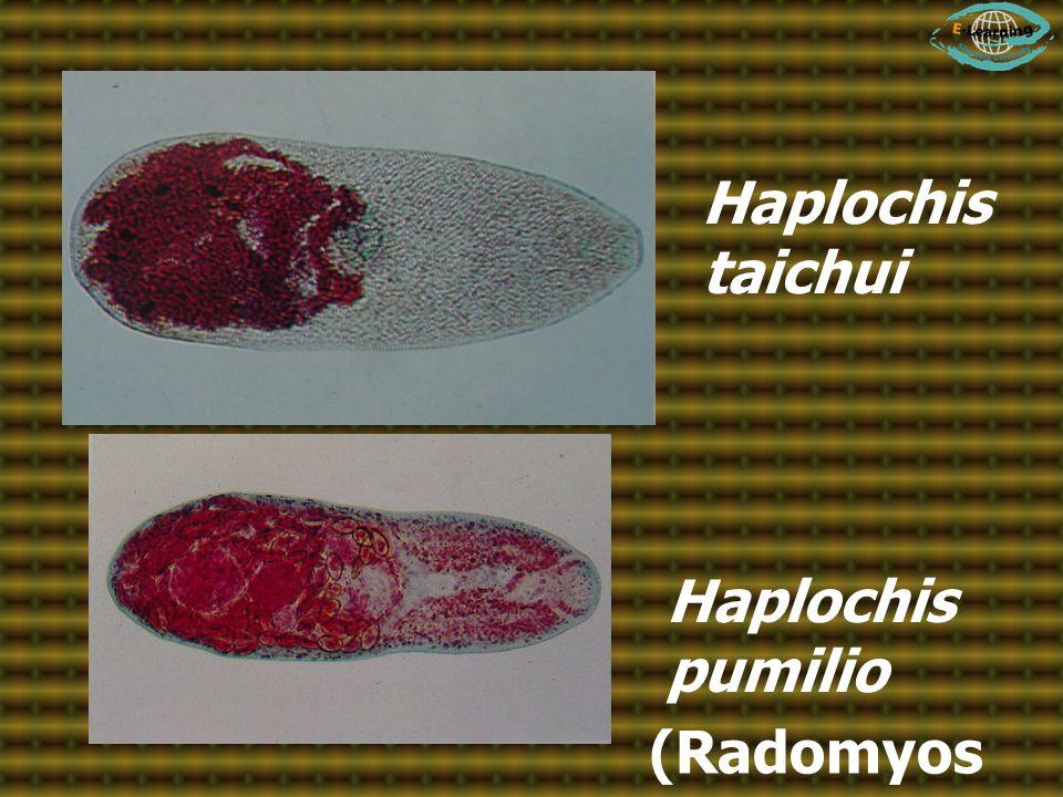 Haplochis taichui Haplochis pumilio (Radomyos et al., 1997)