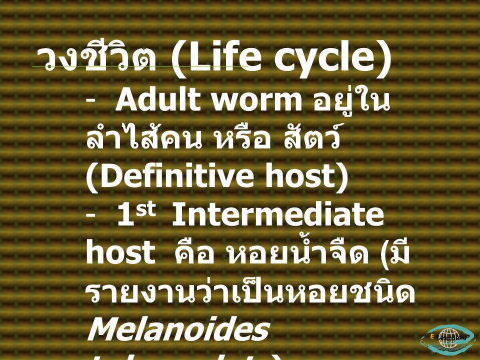 วงชีวิต (Life cycle) Adult worm อยู่ในลำไส้คน หรือ สัตว์ (Definitive host)