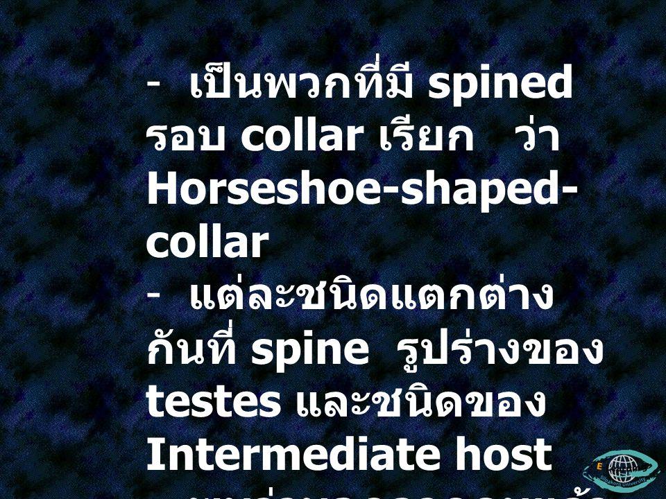 เป็นพวกที่มี spined รอบ collar เรียก ว่า Horseshoe-shaped-collar