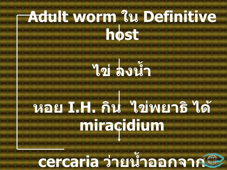 Adult worm ใน Definitive host ไข่ ลงน้ำ