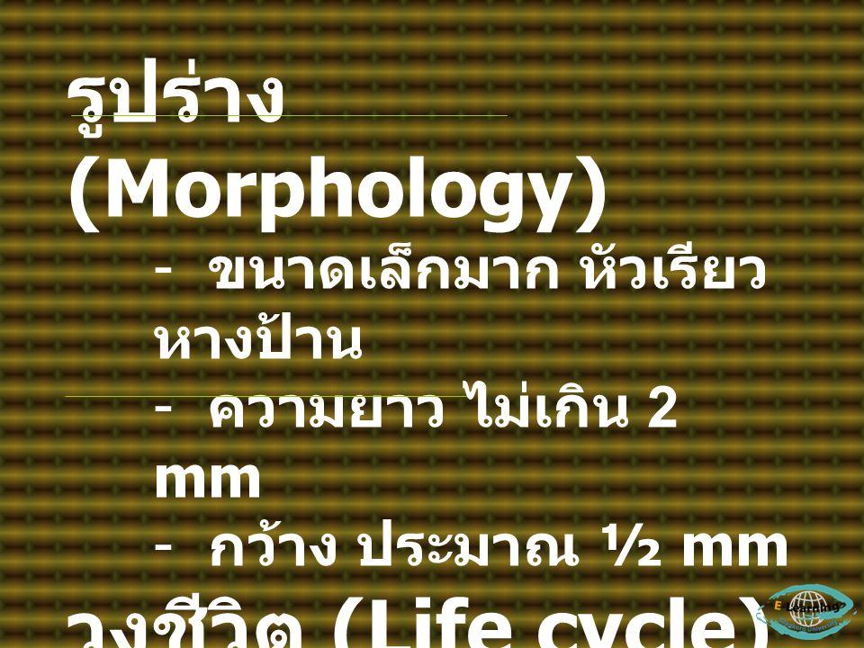 รูปร่าง (Morphology) วงชีวิต (Life cycle) ขนาดเล็กมาก หัวเรียว หางป้าน
