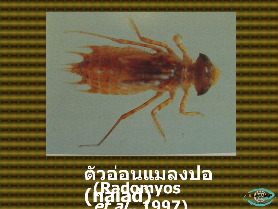ตัวอ่อนแมลงปอ (naiad)