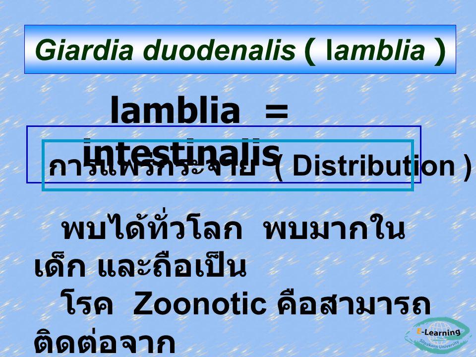 Giardia duodenalis ( lamblia )