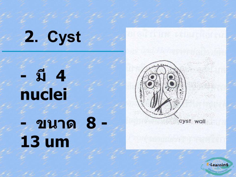 2. Cyst - มี 4 nuclei - ขนาด 8 - 13 um