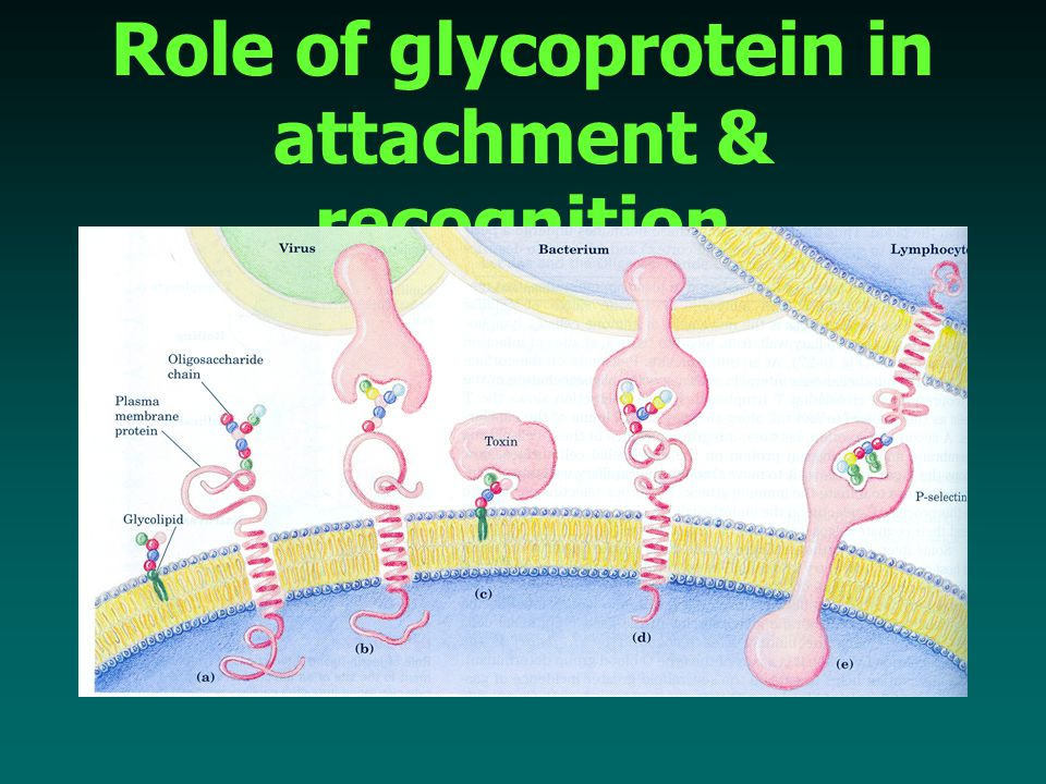 Role of glycoprotein in attachment & recognition
