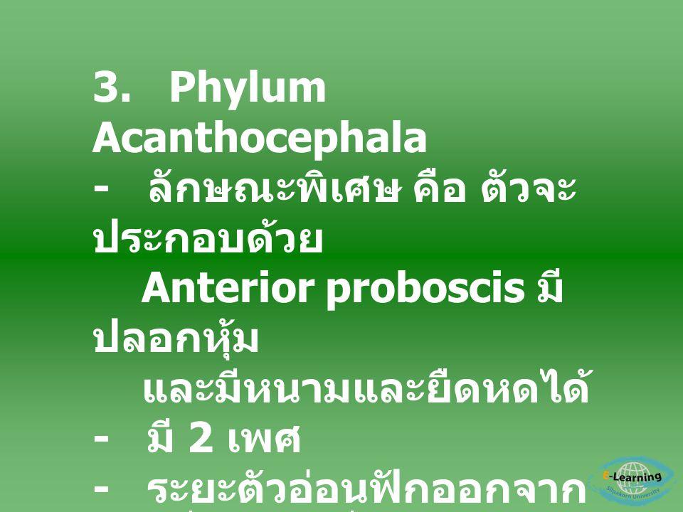 3. Phylum Acanthocephala