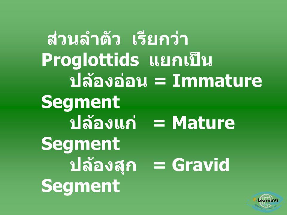 ส่วนลำตัว เรียกว่า Proglottids แยกเป็น