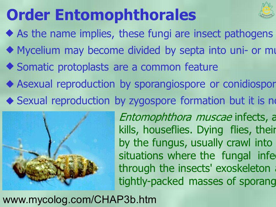 Order Entomophthorales