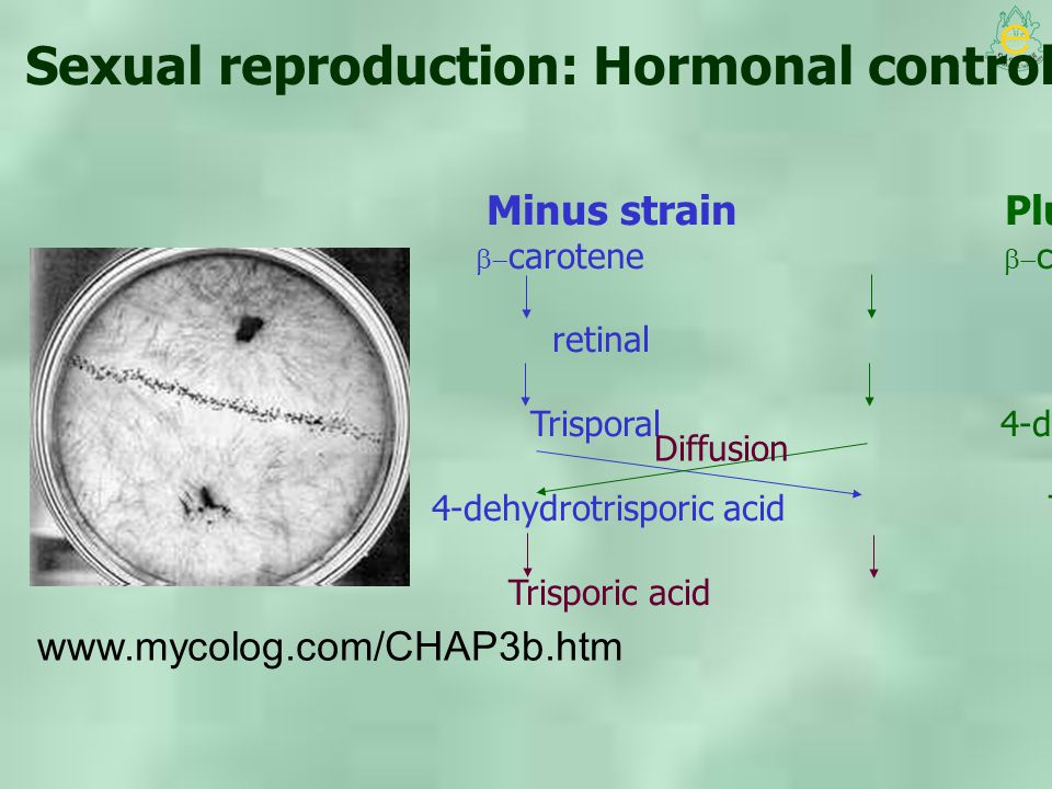 Sexual reproduction: Hormonal control of zygospore formation
