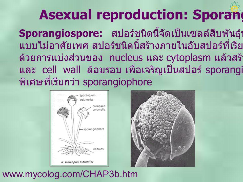 Asexual reproduction: Sporangiospore