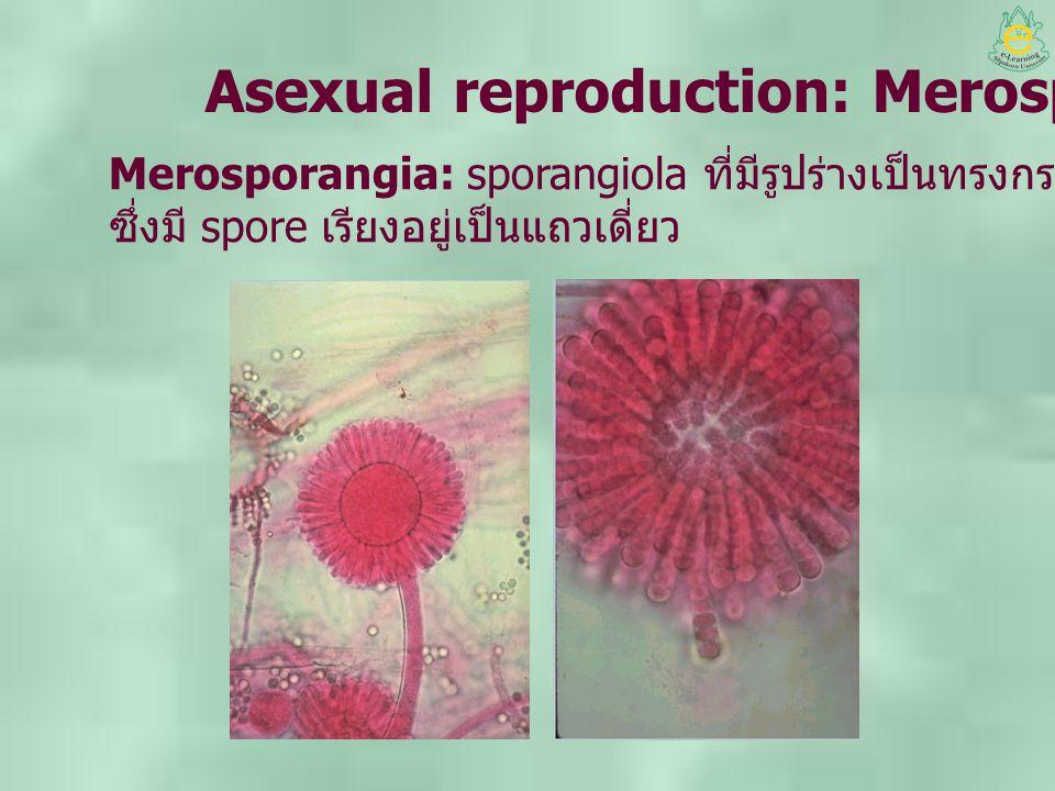 Asexual reproduction: Merosporangia