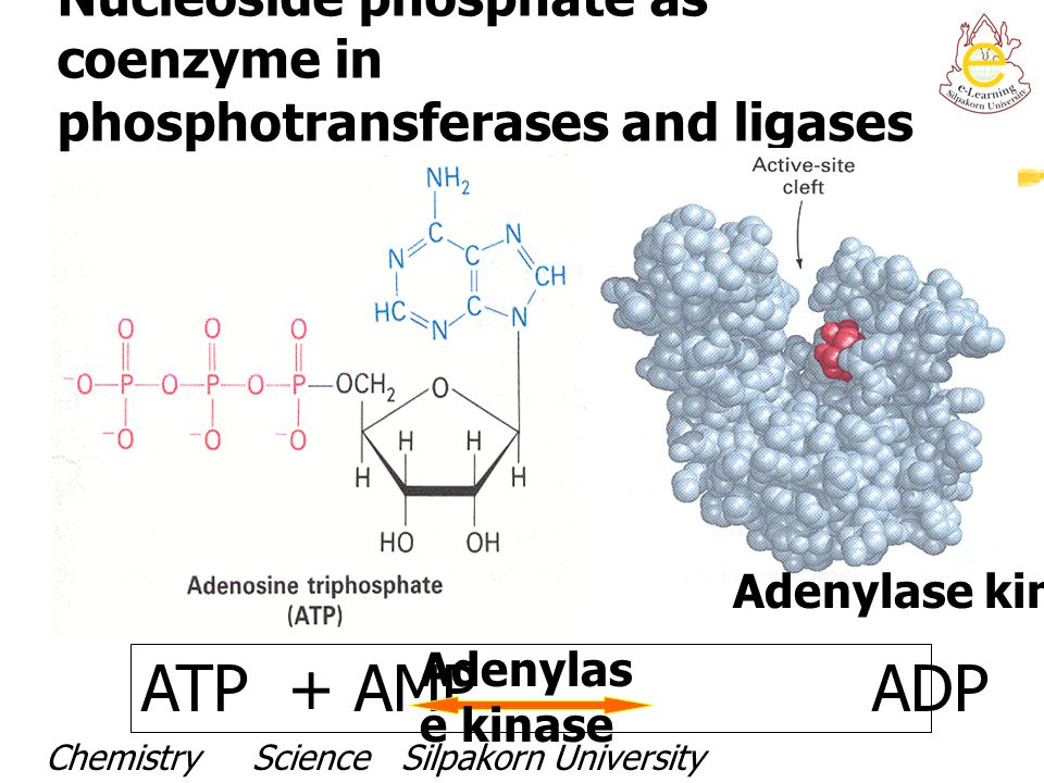 Nucleoside phosphate as coenzyme in phosphotransferases and ligases