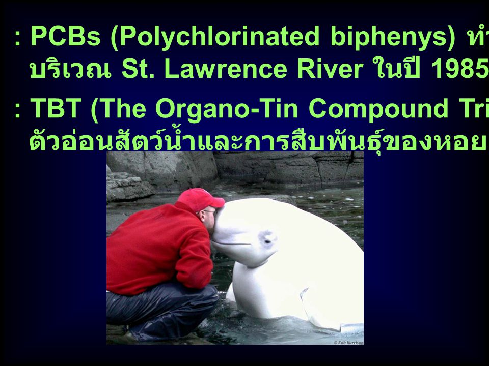 : PCBs (Polychlorinated biphenys) ทำให้ Beluga whale ตาย