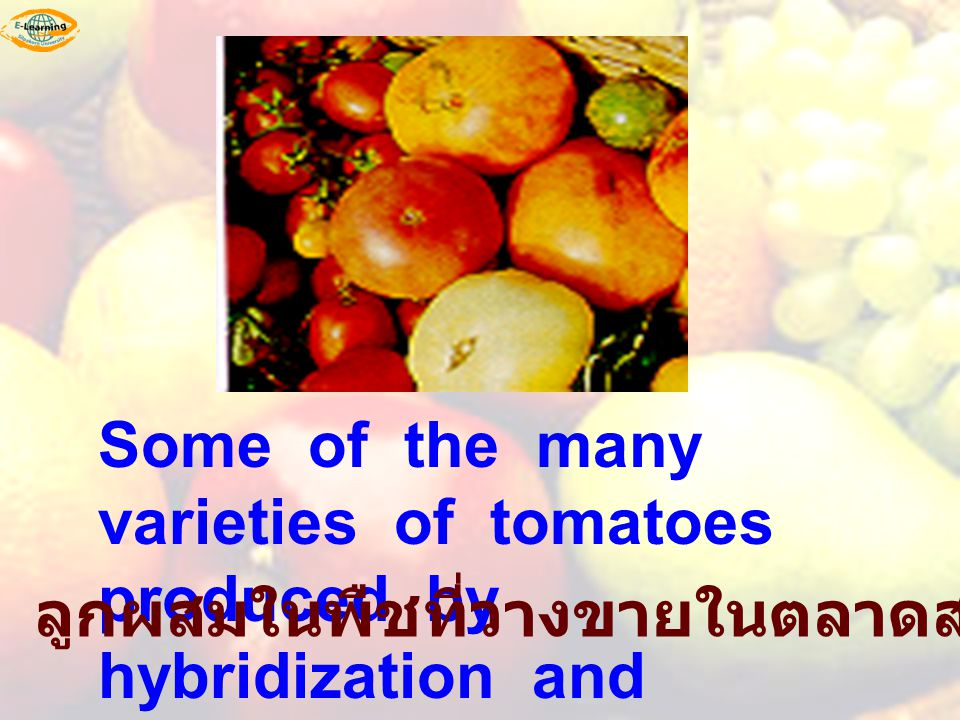 Some of the many varieties of tomatoes produced by hybridization and selection.
