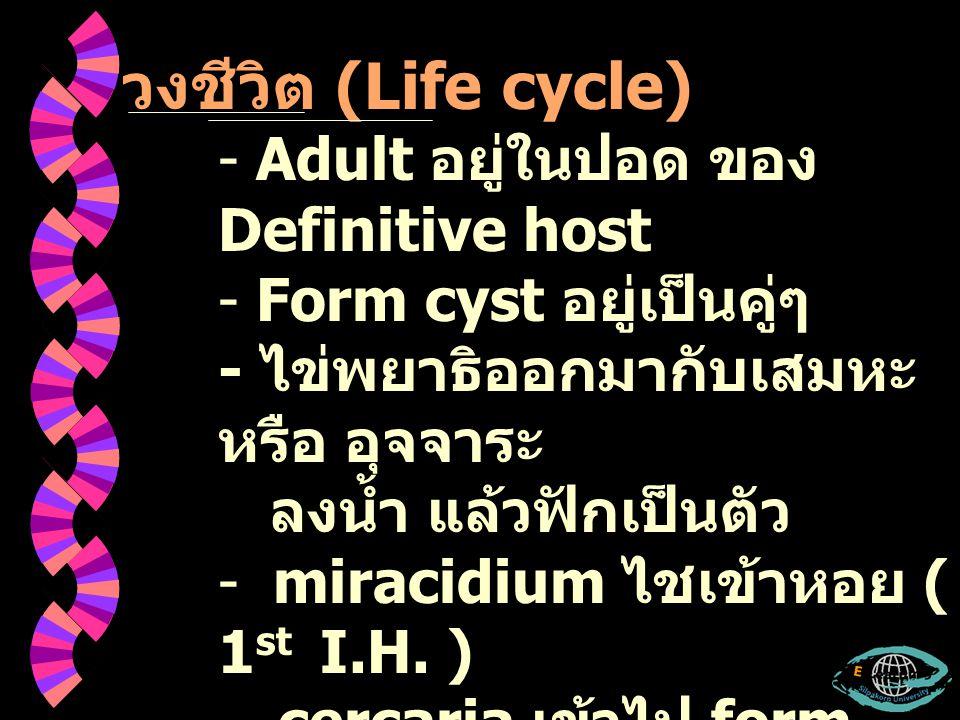 วงชีวิต (Life cycle) Adult อยู่ในปอด ของ Definitive host