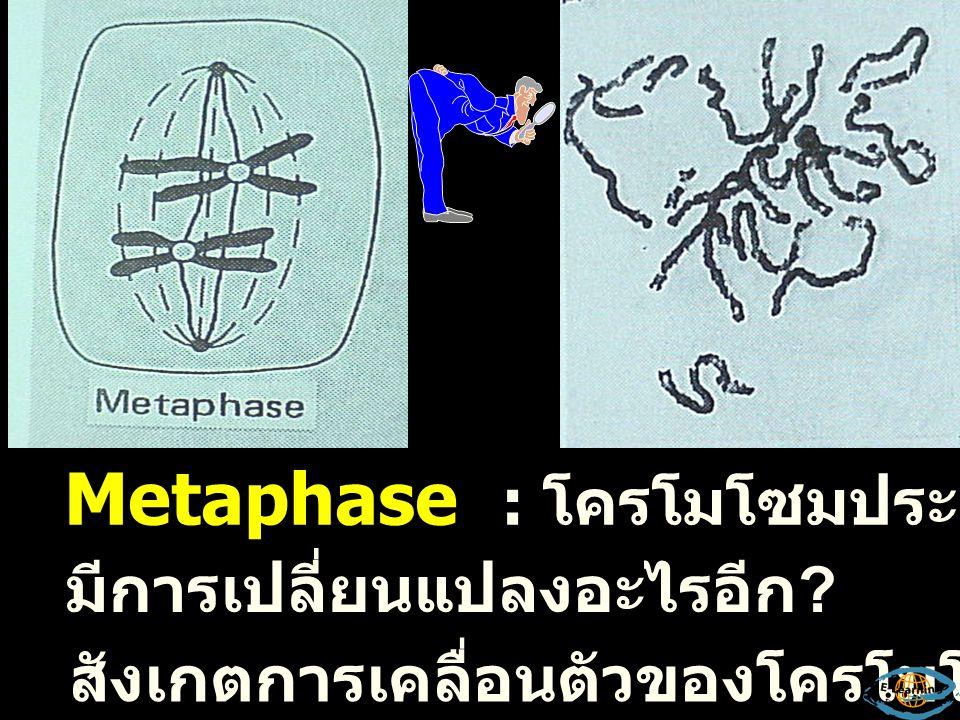 Metaphase : โครโมโซมประกอบด้วย 2 โครมาติด
