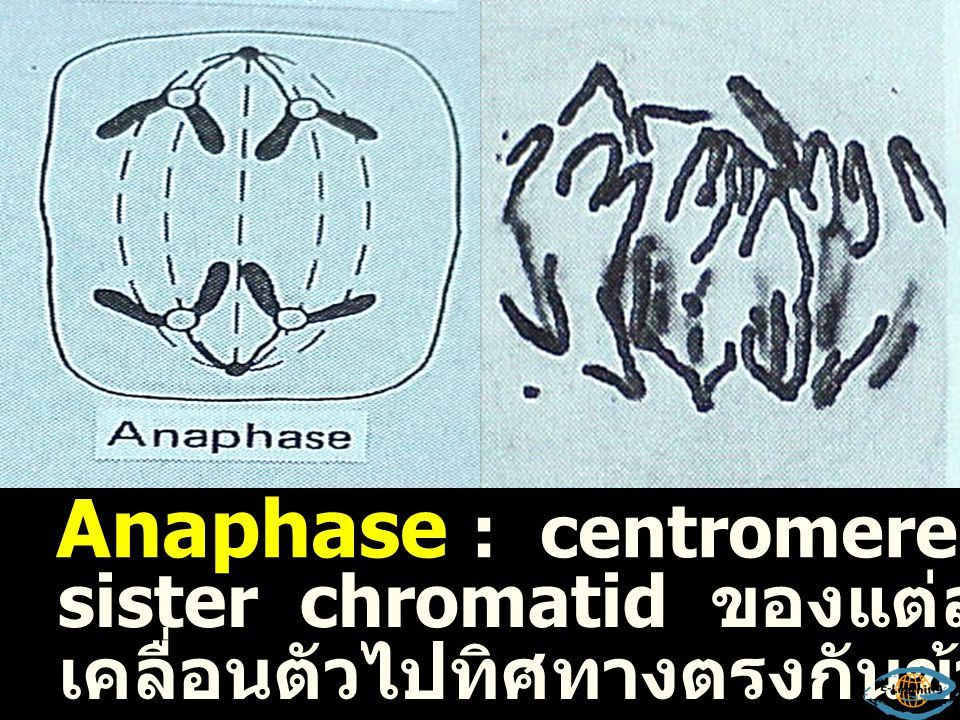 Anaphase : centromere แยกตัวทำให้