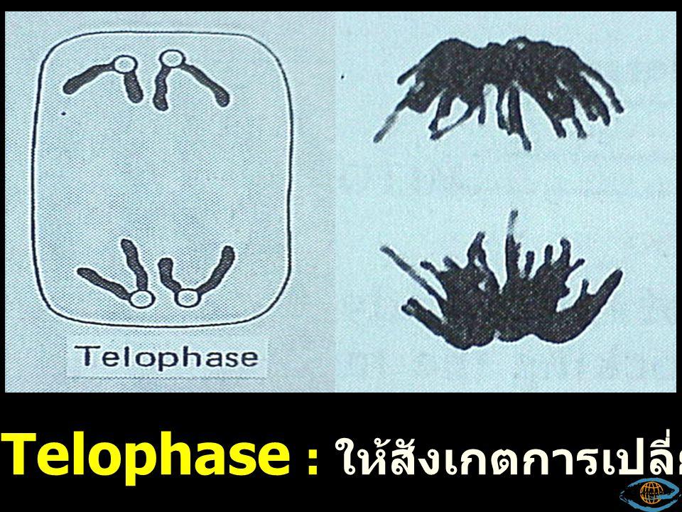 Telophase : ให้สังเกตการเปลี่ยนแปลงของโครโมโซม