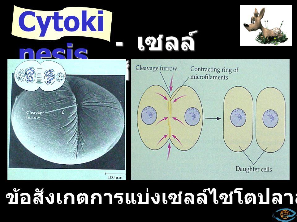 Cytokinesis - เซลล์สัตว์