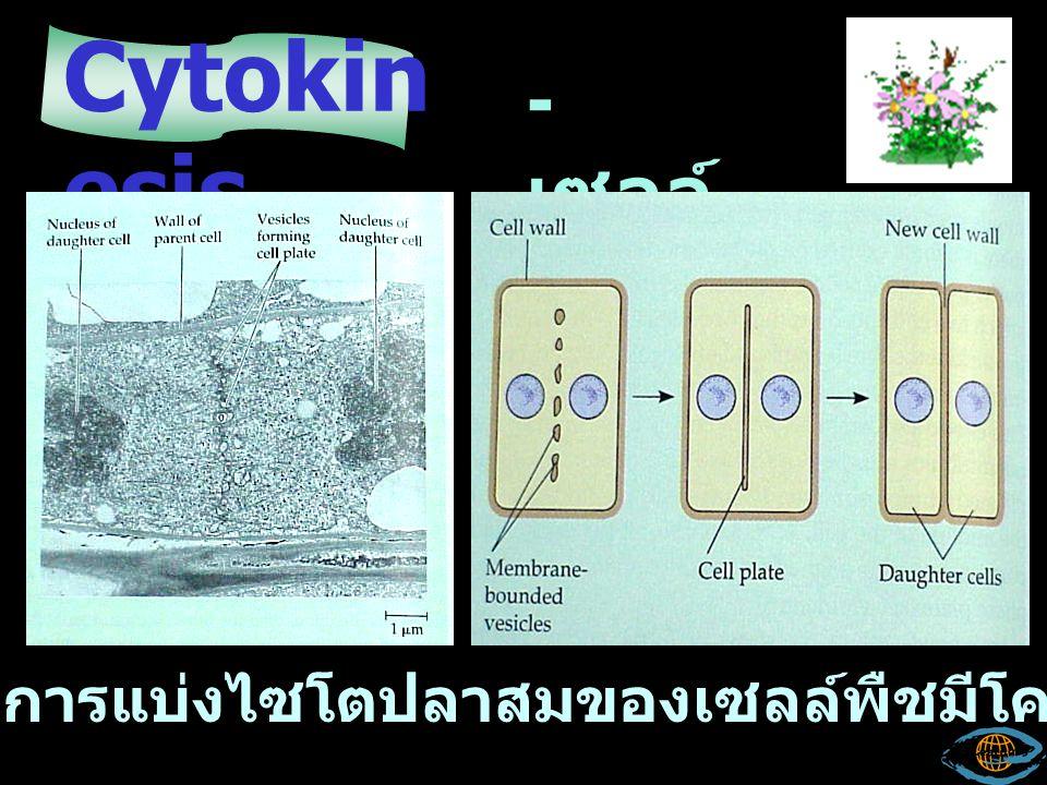 Cytokinesis - เซลล์พืช