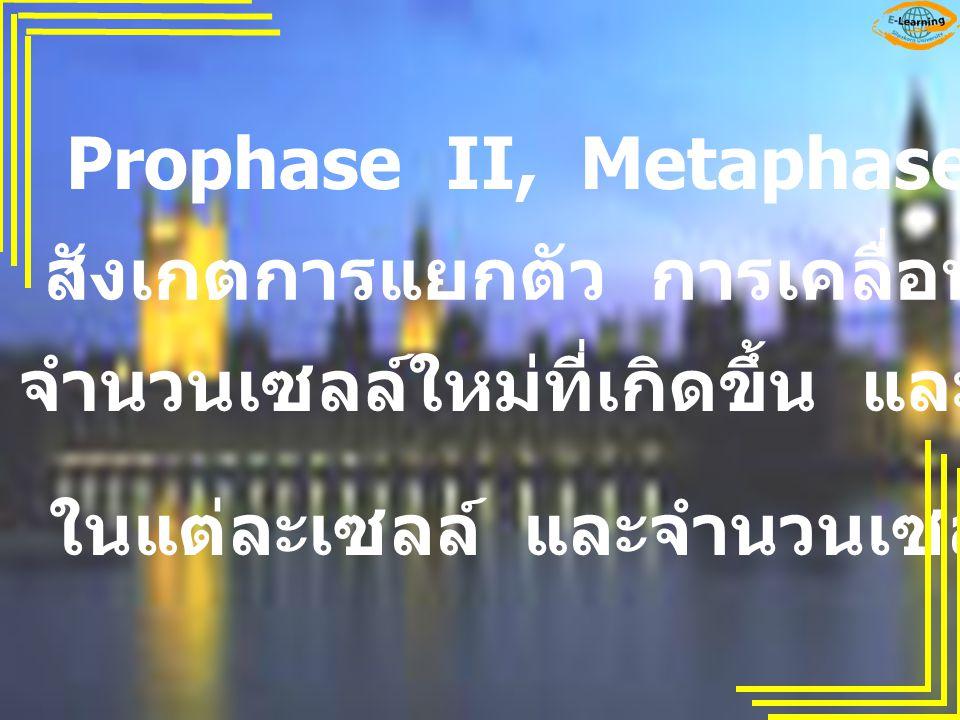 Prophase II, Metaphase II, Anaphase II