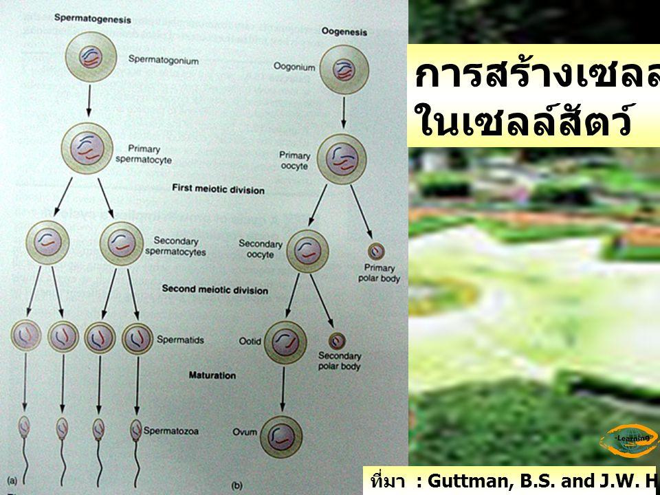 การสร้างเซลล์สืบพันธุ์ ในเซลล์สัตว์